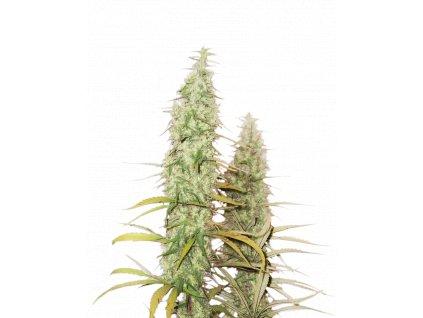 Seedstockers Santa Marta Haze Auto, feminizovaná semena marihuany, samonakvétací, 1ks