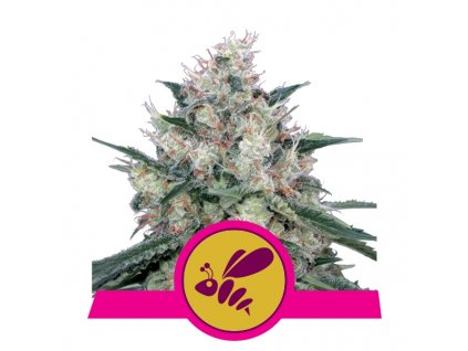 Royal Queen Seeds Honey Cream Fast, feminizovaná konopná semínka, fast, 5ks