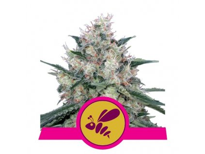 Royal Queen Seeds Honey Cream Fast, feminizovaná semena konopí, fast, 3ks