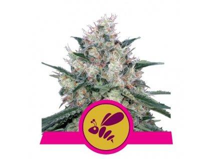 Royal Queen Seeds Honey Cream Fast, feminizovaná semínka marihuany, fast, 10ks