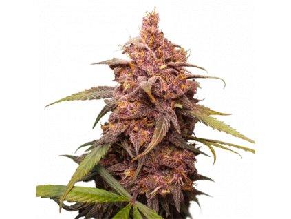 Seedstockers Purple Punch, feminizovaná konopná semínka, 5ks