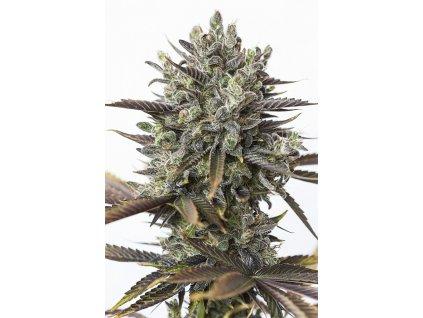 Dinafem Purple Orange CBD, feminizovaná semena konopí, 3ks