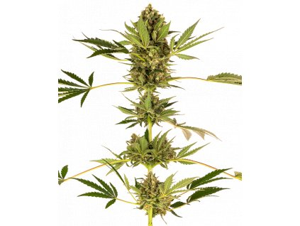 Sensi Seeds Himalayan CBD, feminizovaná semínka konopí, 10ks