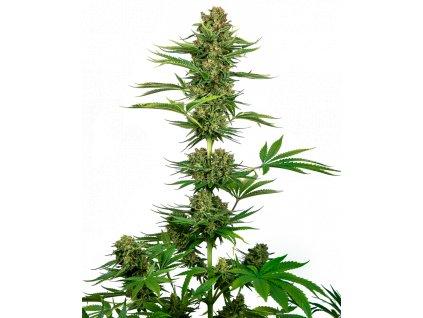 Sensi Seeds Satin Black Domina CBD, feminizovaná semena marihuany, 5ks
