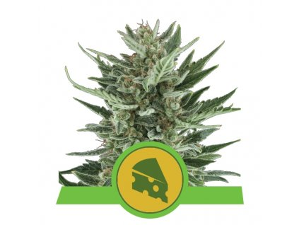 Royal Queen Seeds Royal Cheese Automatic, feminizovaná semínka konopí, samonakvétací, 10ks