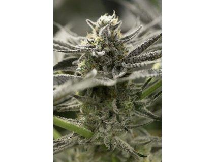 Humboldt Seeds Organization Fast Flowering OGKZ, feminizovaná semínka marihuany, fast, 10ks