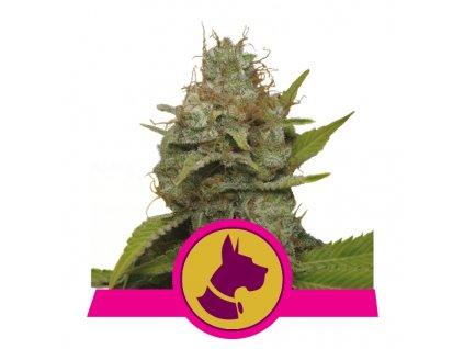 Royal Queen Seeds Kali Dog, feminizovaná semínka konopí, 10ks