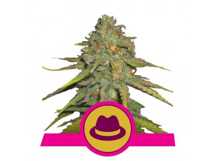 Royal Queen Seeds O.G. Kush, feminizovaná semena konopí, 3ks