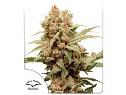 Dutch Passion CBG Force, feminizovaná semínka marihuany, 5ks