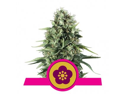Royal Queen Seeds Power Flower, feminizovaná semínka konopí, 10ks