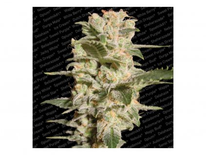 Paradise Seeds Belladonna, feminizovaná semena marihuany, 3ks