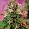 CBD Crew CBD OG Kush, feminizovaná semena marihuany, 5ks