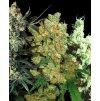 Sensi Seeds Feminizovaný Mix, feminizovaná semena marihuany, 10ks