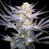 DNA Genetics Strawberry Fields, regulérní semínka marihuany, 12ks