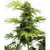 Sensi Seeds Black Harlequin CBD, feminizovaná semena konopí, 3ks