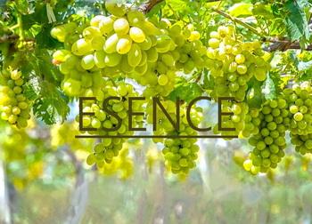 Jakou esenci či aroma najdeme v bílém víně