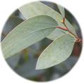 Eukalyptus K