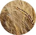 Pšeničný protein K