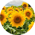 Sunflower K