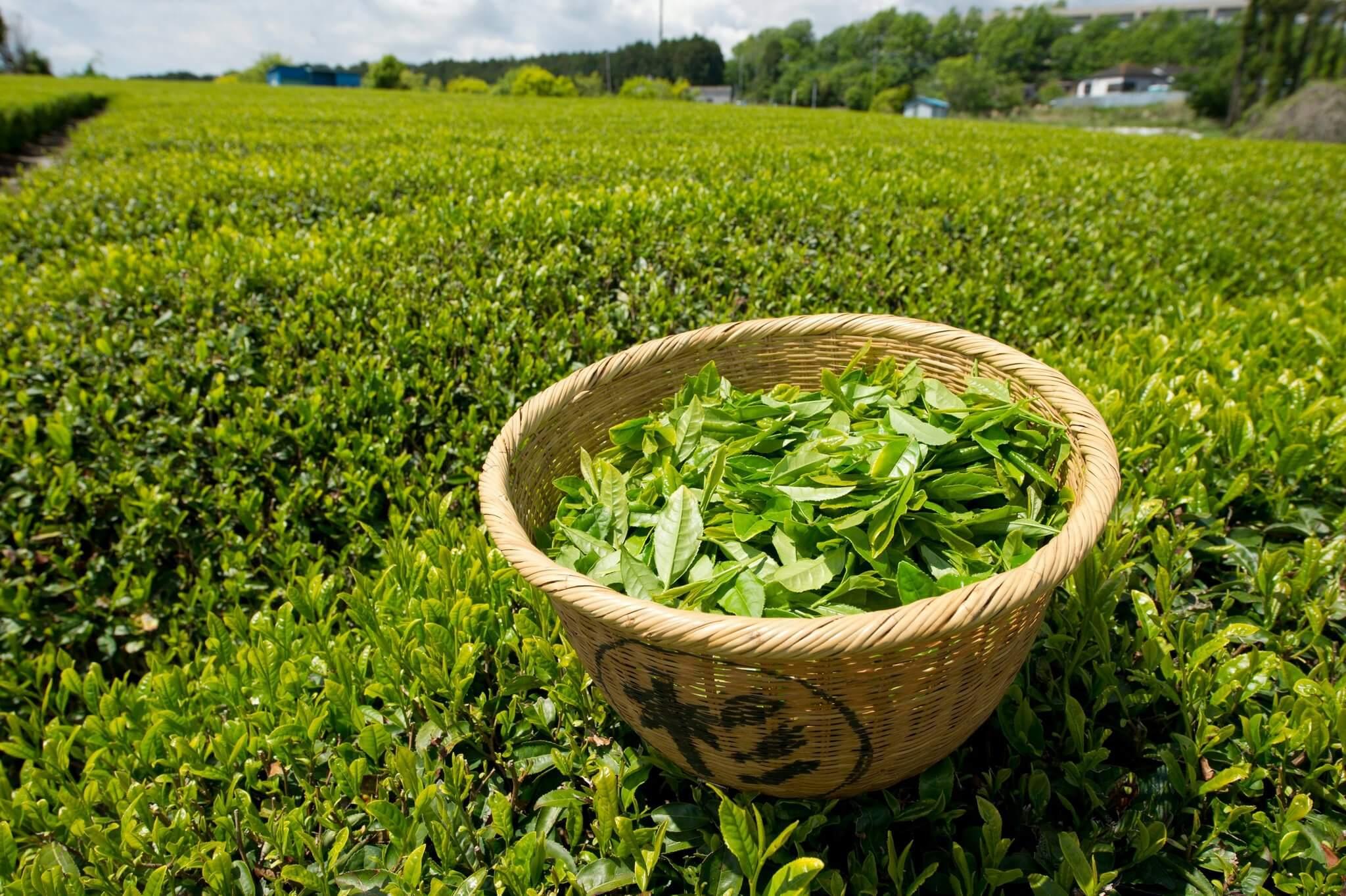 7 výhod, proč pít zelený čaj
