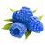 modrá malina