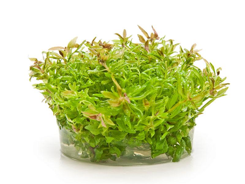 Akvarijní rostliny IN VITRO