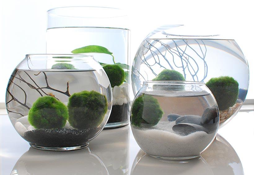 Jak pěstovat řasokoule