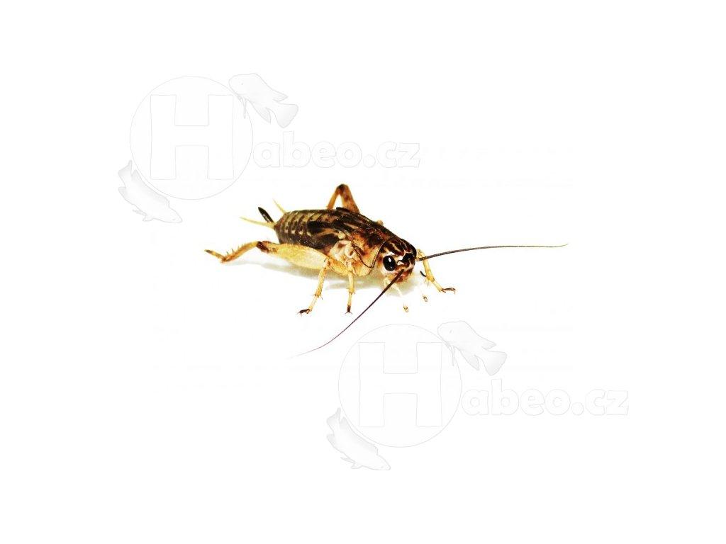 cvrček kobylka krmný hmyz cvrčci terarijní zvířata had plazi plazy cvrcek bananovy 05dcl
