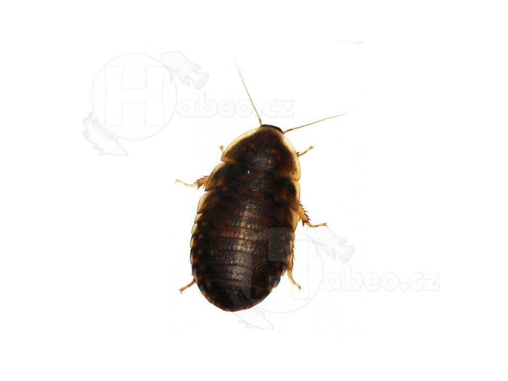 šváb švábi krmný hmyz pro terarijní zvířata hadi plazi obojživelníci svab argentinsky b dubia 1ks