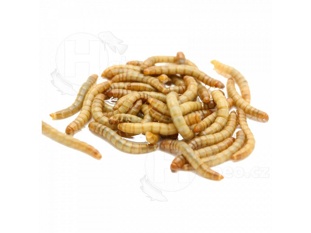 moučný červ mouční červi návnada pro rybáře živé krmení hmyz mucny cerv tenebrio molitor 50ml