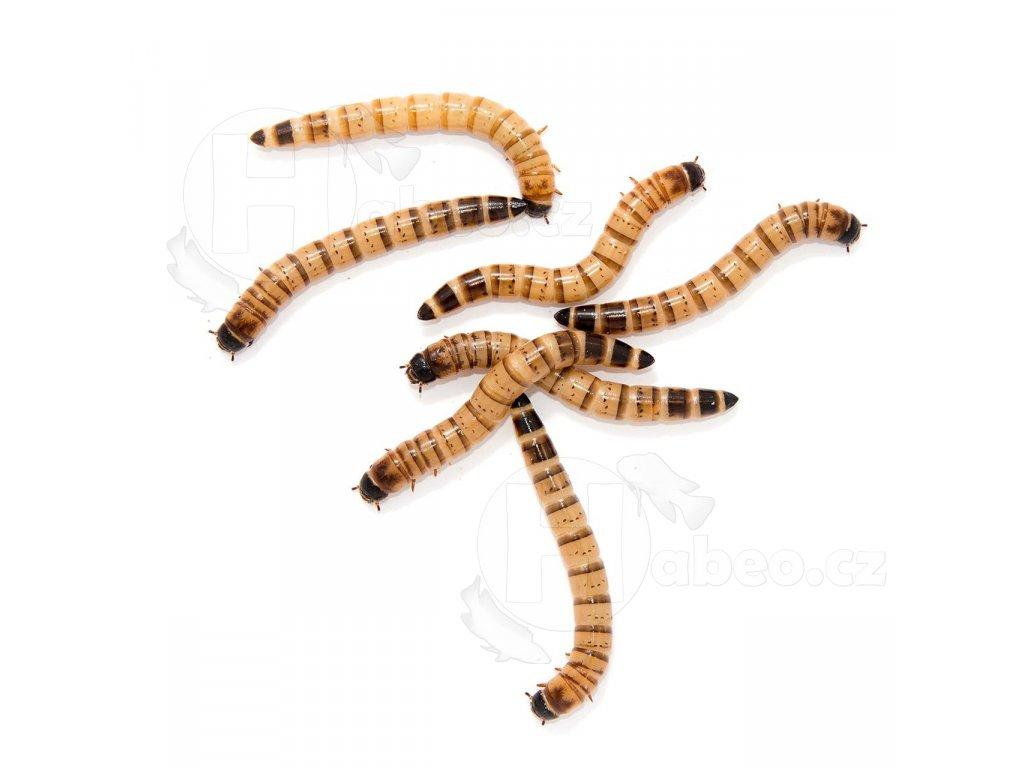Zophobas - živé krmivo pro terarijní zvířata. červ velký plazi hadi krmivo