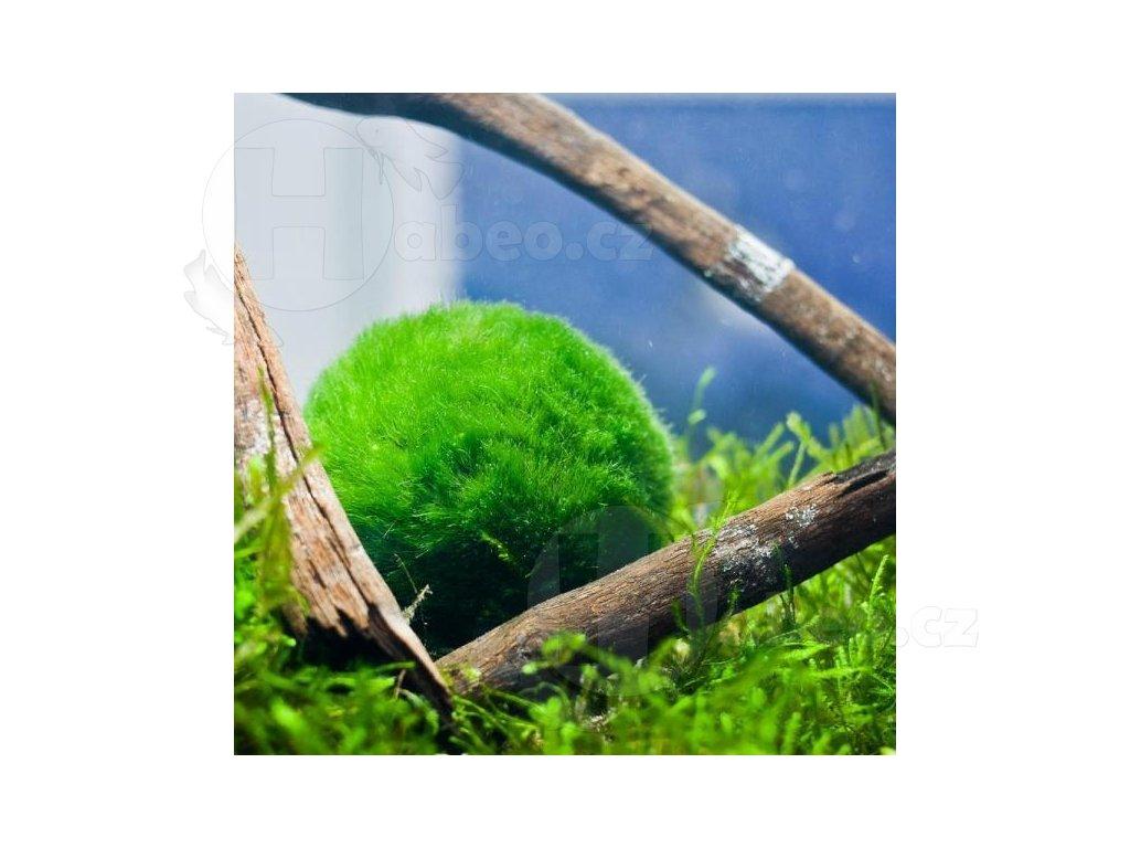 Cladophora aegagropila - řasokoule zelená - mechová koule