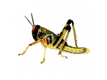 sarance 1ks sarančata krmný hmyz had ještěr terárium saranče