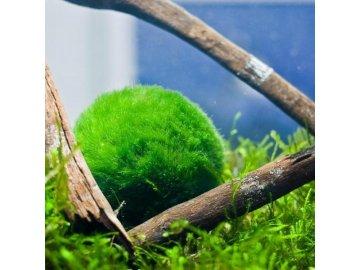 Řasokoule zelená - Cladophora aegagropila vel. 5 - 7 cm