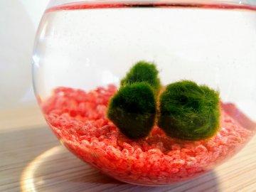 SET Řasokoule a akvarijní koule 2,5 l s červeným štěrkem habeo.cz set akvarijní koule s kamínky a řasokoulemi štěrk dárek dekorace řasokoule ve váze