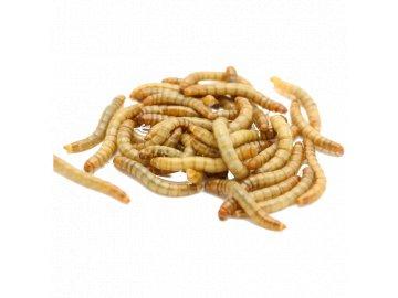 červ červi mouční červi terarijní zvířata hmyzožravci ježek krmivo pro ježka mucny cerv tenebrio molitor 50ml