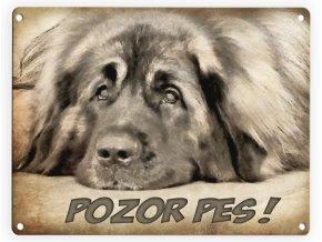 Leonberger-Pozor pes 2