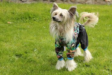Proč oblékat psa