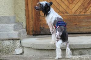 FOTO – Hygienický pás pro psy, který znemožňuje značkování a páření (3)