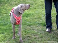 Ergonomický nastavitelný postroj pro psy HURTTA z měkkého prodyšného polyesteru se zvýšenou odolností vůči povětrnostním vlivům. Barva červená, vzor Coral CAMO.