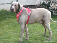 Ergonomický nastavitelný postroj pro psy HURTTA z měkkého prodyšného polyesteru se zvýšenou odolností vůči povětrnostním vlivům. Barva červená, vzor Coral CAMO. (FOTO 2)