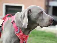 Ergonomický nastavitelný postroj pro psy HURTTA z měkkého prodyšného polyesteru se zvýšenou odolností vůči povětrnostním vlivům. Barva červená, vzor Coral CAMO. (FOTO 6)