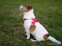 Ergonomický nastavitelný postroj pro psy HURTTA z měkkého prodyšného polyesteru se zvýšenou odolností vůči povětrnostním vlivům. Barva červená. (FOTO 2)