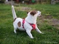 Ergonomický nastavitelný postroj pro psy HURTTA z měkkého prodyšného polyesteru se zvýšenou odolností vůči povětrnostním vlivům. Barva červená. (FOTO 5)