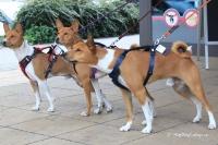 Postroj pro psy značky ForMyDogs v tmavě modré barvě. Pevný odolný materiál, polstrování na hrudníku, bezpečnostní reflexní prvky (3).