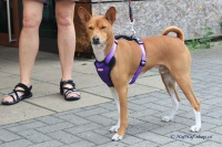Postroj pro psy značky ForMyDogs v zářivě fialové barvě. Pevný odolný materiál, polstrování na hrudníku, bezpečnostní reflexní prvky (4).