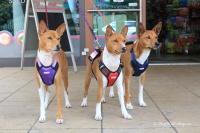 Postroj pro psy značky ForMyDogs v zářivě fialové barvě. Pevný odolný materiál, polstrování na hrudníku, bezpečnostní reflexní prvky (7).