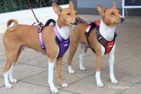 Postroj pro psy značky ForMyDogs v černo-červené barvě. Pevný odolný materiál, polstrování na hrudníku, bezpečnostní reflexní prvky (2).