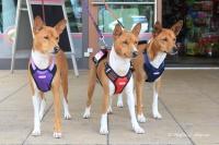 Postroj pro psy značky ForMyDogs v černo-červené barvě. Pevný odolný materiál, polstrování na hrudníku, bezpečnostní reflexní prvky (7).