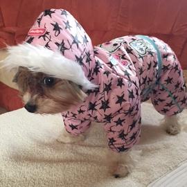 Yorkšírek Celinka v zimním oblečku pro psy